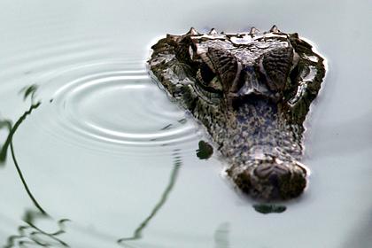 В брюхе крокодила-людоеда нашли съеденного человека