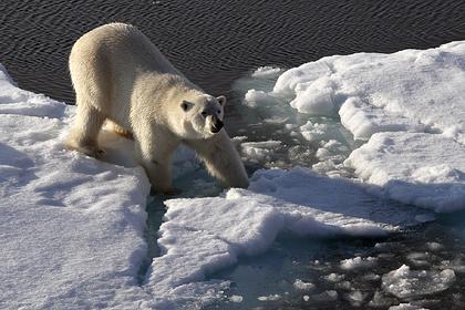 Подсчет белых медведей в российской Арктике начнется летом