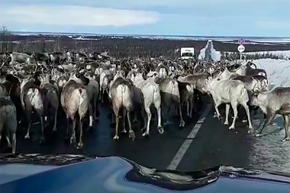 Пробка из-за гигантского стада оленей на российской трассе попала на видео