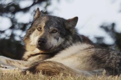 Охотник убил «самоизолировавшегося» морского волка