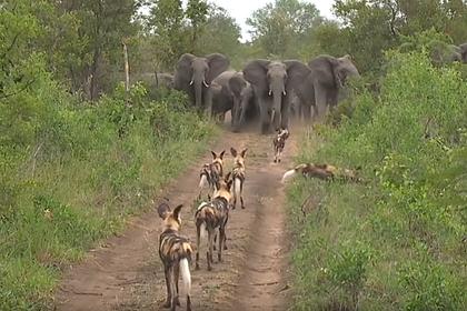 Стадо слонов защитило детенышей от стаи хищников