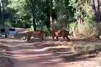 Яростная схватка двух тигров за территорию попала на видео