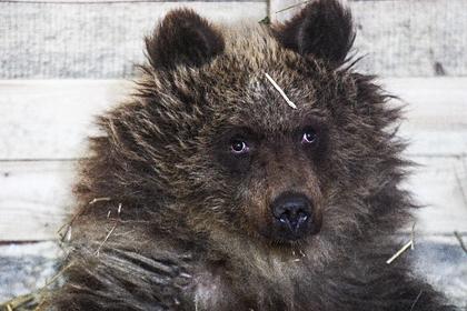 Медведь загнал отбивавшегося петардами россиянина на дерево и съел его продукты