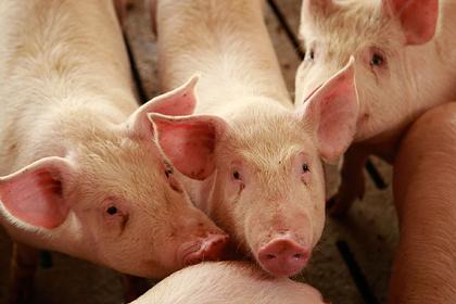 США оказались под угрозой дефицита свинины