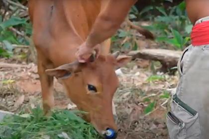 Выжившую после четырех выстрелов в голову корову решили не есть
