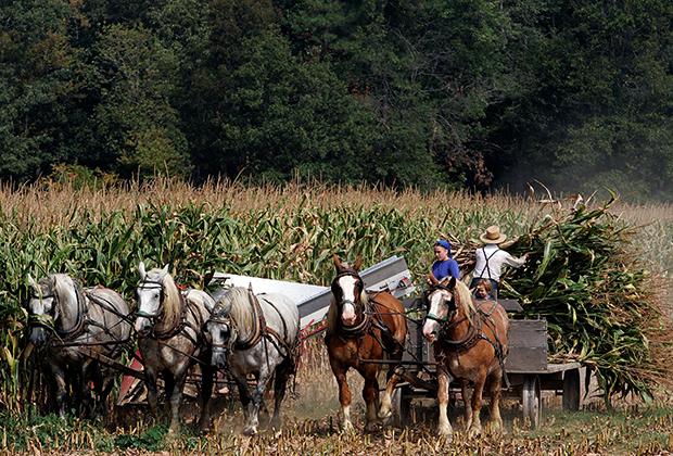 Амиши убирают урожай кукурузы, штат Мэриленд