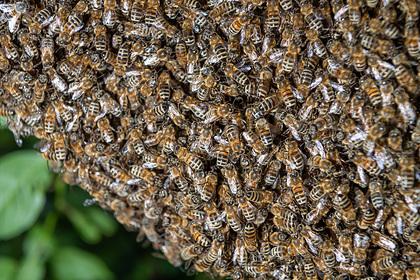 Агрессивные пчелы до смерти искусали трех собак