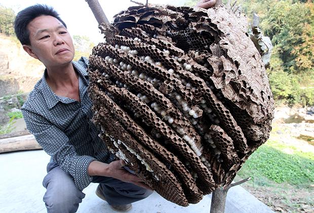 Гнездо гигантских шершней, найденное в китайской провинции Шэньси в 2013 году