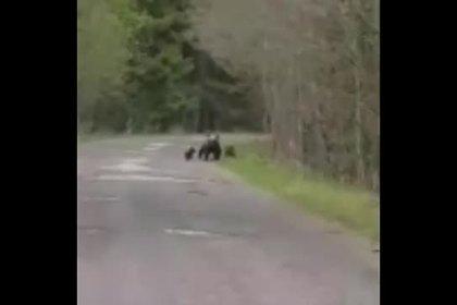 Медвежата и медведица выбежали из леса на дорогу в Петербурге