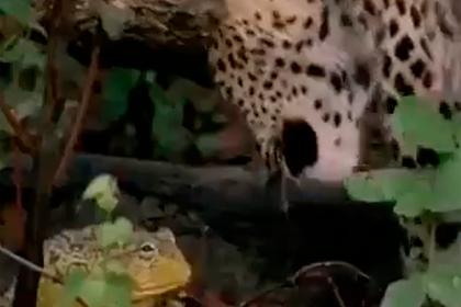 Крошечная лягушка победила леопарда и попала на видео