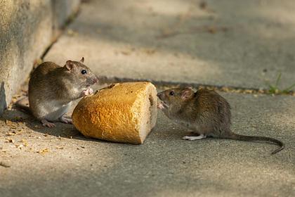 Обезумевшие от голода крысы принялись поедать друг друга из-за коронавируса
