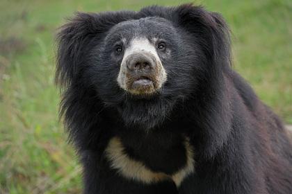 Толпа жестоко расправилась с самым опасным медведем в мире