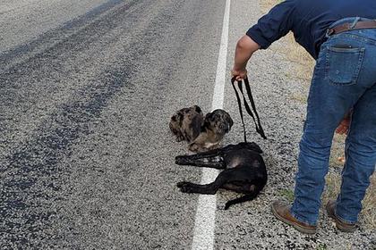 Горюющий пес охранял тело погибшей под колесами машины сестры
