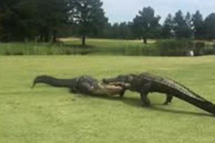 Огромные аллигаторы подрались на глазах у очевидцев и попали на видео