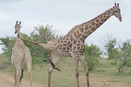 Необычное противостояние двух жирафов попало на видео