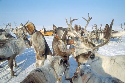 Российских ученых обеспокоила численность диких северных оленей