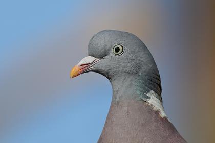 В Индии после трех лет ареста освободили пакистанского голубя-шпиона