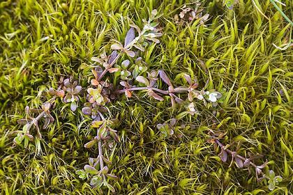 Считавшееся исчезнувшим растение восстановилось благодаря истреблению кроликов