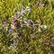 Растение Galium antarcticum