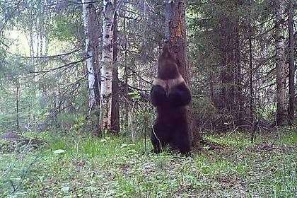 Уральский медведь «станцевал» у дерева и попал в видеоловушку