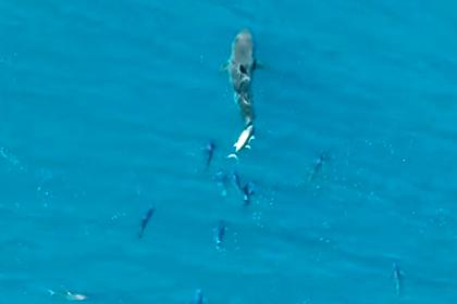 Тунцы догнали акулу-людоеда и принялись чесаться о нее