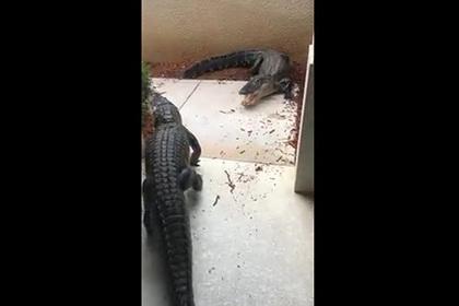 Два аллигатора подрались перед домом женщины и попали на видео