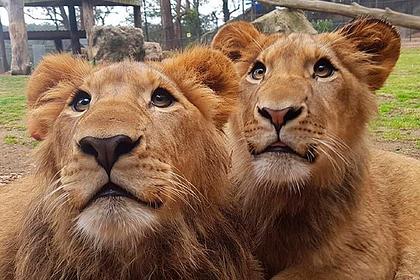 Изувечивших свою смотрительницу агрессивных львов оставили в живых