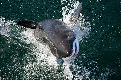 Акула-людоед убила серфера и уплыла безнаказанной