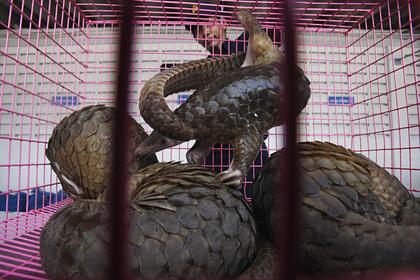 Китайцам запретили лечиться чешуей промежуточного хозяина коронавируса