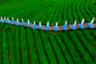 Чайные плантации Китая — зеленые травяные моря, раскинувшиеся по горам местных провинций, — поставляют четверть всего чая в мире. В идеальных условиях там произрастают сорта Маофэн, Хуантан, Чаоцин, Мэйча, Лунцзин. Кажущиеся бесконечными чайные кусты напоминают волны, для достижения такого эффекта их высаживают с минимальным расстоянием друг от друга и специально подравнивают секаторами по бокам. Ходят слухи, что в некоторых деревнях есть строго засекреченные плантации, где выращивается чай для высших лиц страны.