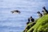 Клифы Фарерских островов с огромными скоплениями тупиков — птиц, похожих на пингвинов с ярко-оранжевыми клювами, — одна из нередких достопримечательностей архипелага, благодаря которой он стал так знаменит. Атлантический тупик занесен в Красную книгу и считается видом, находящимся в уязвимом состоянии, однако некоторые жители прибрежных поселков умудряются продолжать на них охоту, отдавая дань традициям предков.