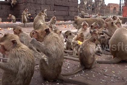 Тысячи голодных обезьян захватили город и подрались с людьми