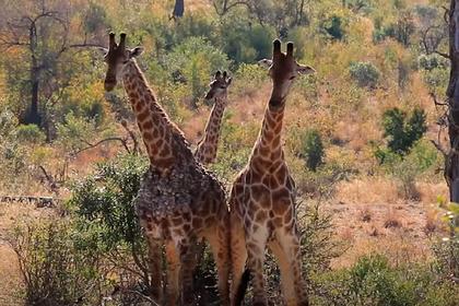 Противостояние двух жирафов на глазах у очевидцев попало на видео