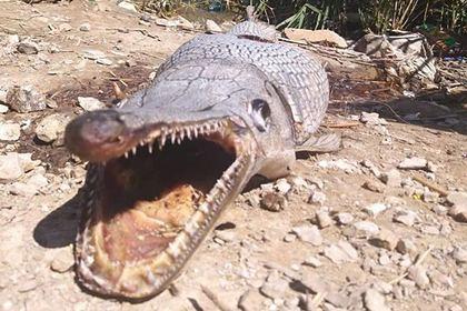 Похожее на аллигатора странное существо нашли на берегу водохранилища