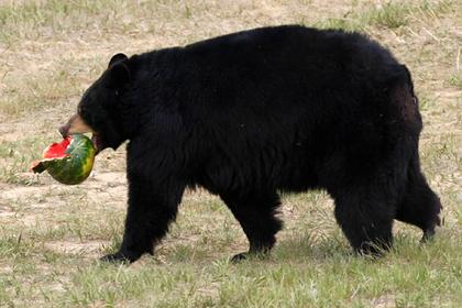 Женщина пустила домой дикого медведя и попала под суд