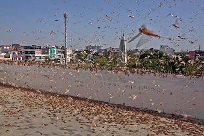 Индия бросит вертолеты на борьбу с нашествием саранчи