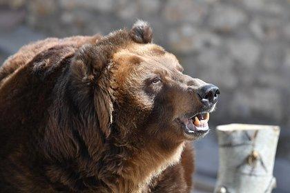 Медведь напал на ловившего рыбу россиянина