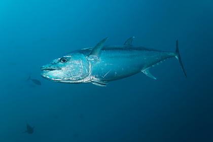 Четырехчасовая борьба рыбаков с тунцом закончилась победой акулы