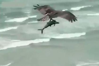 Схватка орла и акулы в воздухе попала на видео