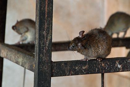 Оголодавшие за время карантина крысы начали поедать друг друга и залезать в дома