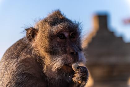 Супермаркеты отказались от продажи собранных невольными обезьянами кокосов