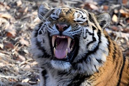 Тигрица растерзала сотрудницу зоопарка на глазах у посетителей
