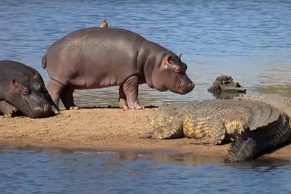 Бегемоты незаметно пронесли птиц мимо крокодилов и попали на видео