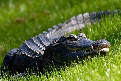 Трехметровый аллигатор утащил под воду старушку и ее соседа