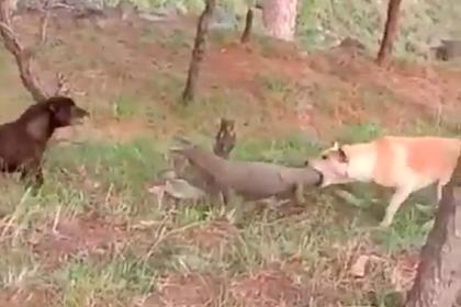 Жестокая схватка варана с собаками попала на видео