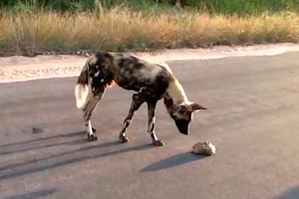 Черепаха сбежала из-под носа гиеновидной собаки и насмешила туристов