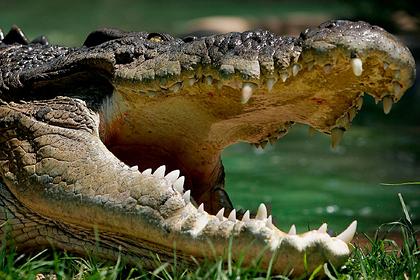 Гребнистый крокодил утащил под воду торговца молоком