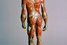 Совсем детально рассмотреть человеческое тело позволил британский Музей истории науки Уиппла. Опубликованную им и предназначенную для обучения модель при желании можно зверски расчленить. По словам кураторов, в этом экспонате мышцы левой икры, бедра и руки легко отсоединяются, лицо разбирается, а череп открывается, обнажая мозг. Кроме того, особо любопытные исследователи могут вообще снять с фигуры туловище, чтобы разглядеть внутренние органы. «Дарим вам эту сочную и мускулистую попу с красивым крупным планом!» — написали представители музея под жутковатым и пронизанным венами образцом и явно прогадали с выбором. Лайков эта реалистичная фигура собрала гораздо меньше, чем ее конкуренты.
