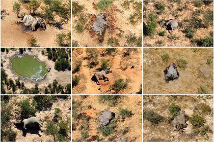 Названа предполагаемая причина загадочной гибели слонов в Африке