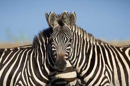 Оптическая иллюзия с головой зебры запутала пользователей сети